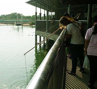Nourrir les crocodiles à Pattaya avec des poulets