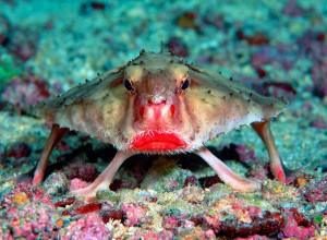 poisson-chauve-souris
