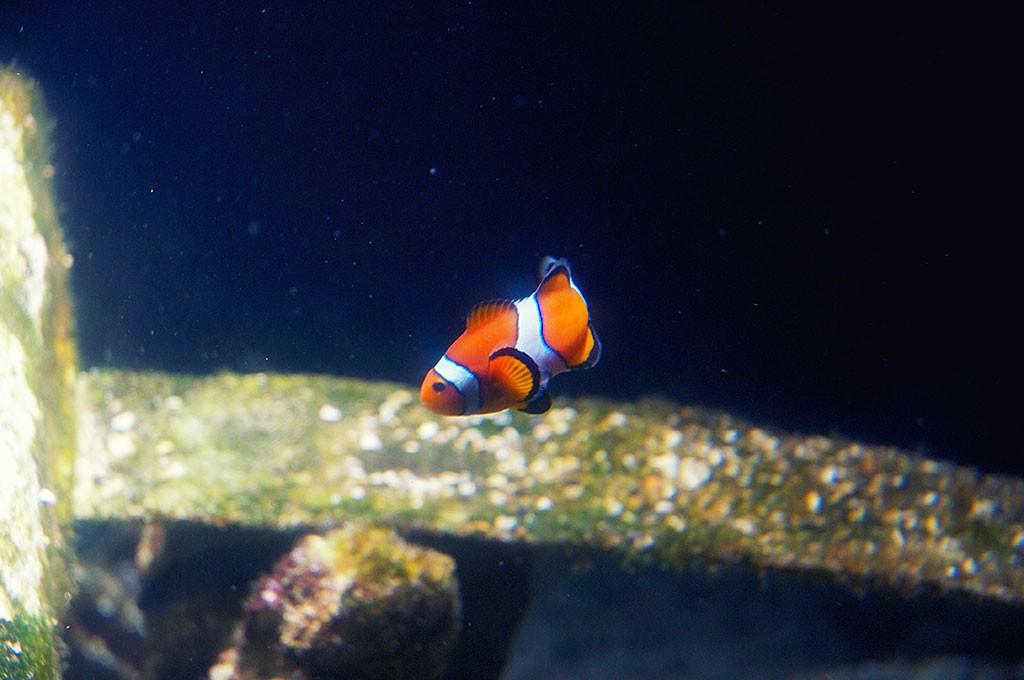 boulogne-sur-mer-nausicaa-aquarium-poisson-clown