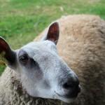 musee-plein-air-lille-mouton