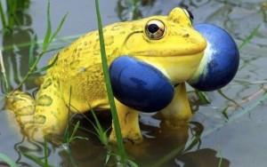 golden bullfrog-